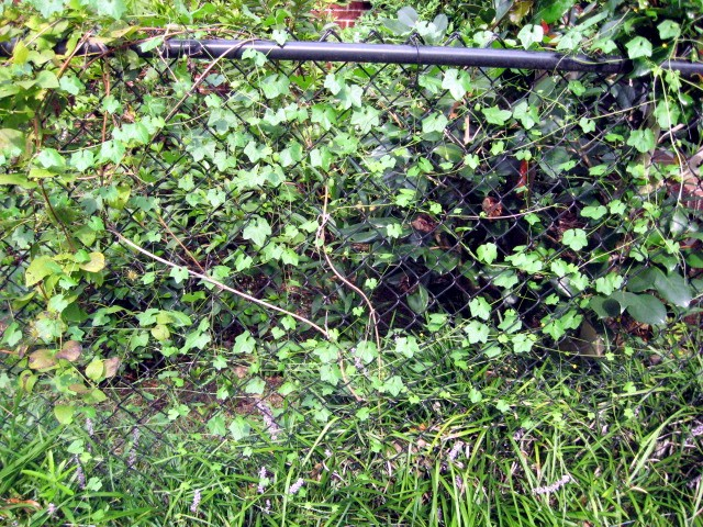 This vine just sprang up a few weeks ago and is covering my fence it has tiny yellow flowers on it and small green egg shaped pods can someone tell me what it is mightylinksfo